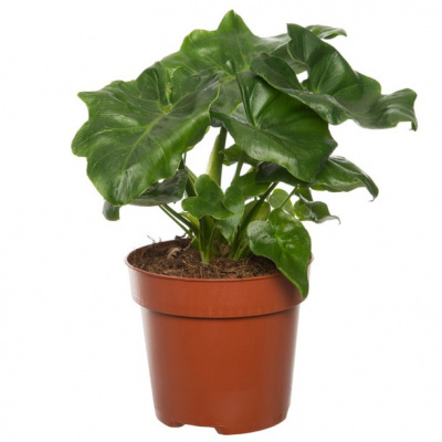 philodendron_atom_30_cm